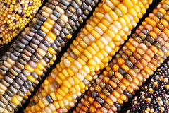 Different maize-cobs Royalty Free Stock Photo