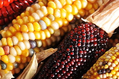 Different maize-cobs Stock Photo