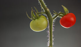 Different Maturity. A branch with a ripe and unripe tomatos hanging side by side. These tomatos of similar size ripes at different time. This denotes different Stock Photo