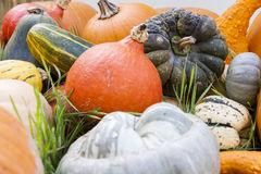 Different maxima and pepo cucurbita pumpkin pumpkins from autumn Royalty Free Stock Images