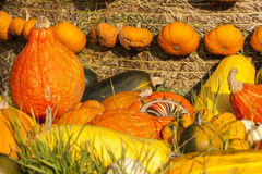 Different maxima and pepo cucurbita pumpkin pumpkins from autumn Royalty Free Stock Photos