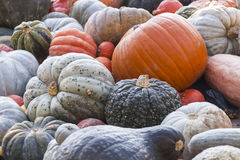 Different maxima and pepo cucurbita pumpkin pumpkins from autumn Royalty Free Stock Image