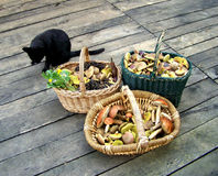 Different mushrooms in baskets with cat. Three basket different eatable mushroom with cat Stock Photos