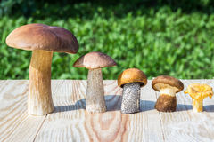 Different mushrooms are in descending  order (cep, brown cap boletus, orange-cap boletus, paxil, chanterelle) Royalty Free Stock Image
