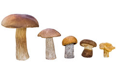 Different mushrooms are in descending order (cep, brown cap boletus, orange-cap boletus, paxil, chanterelle) Stock Photos