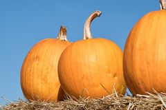 Different orange pumpkins on a straw in autumn. Halloween,Thanks. Giving royalty free stock photo