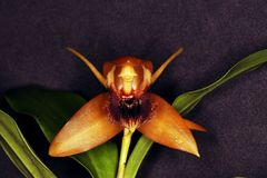 Different orchid flower. This is a wonderful  orchid from Brazil Royalty Free Stock Image