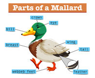 Different parts of mallard Stock Image