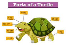 Different parts of turtle Stock Photos