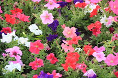 Different petunias Stock Image
