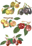 Different plums collection on white Royalty Free Stock Image