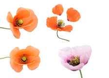 Different poppies isolated on white background Stock Photography