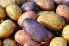 Different potatoes after the harvesting Royalty Free Stock Photography