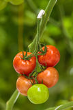 Different ripening stages of tomatoes in a greenhouse Stock Photos