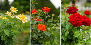 Different rose types collage. Different tree like grafted rose types stock photography