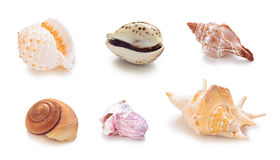 Different sea conch shells in a row. Collection of different sea conch shells in a row. Isolated on white background Stock Images