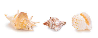 Different sea conch shells in a row. Collection of different sea conch shells in a row. Isolated on white background Stock Photo