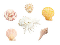 Different seashells on white background Royalty Free Stock Photo