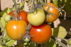 Different size and colored tomatoes. On the vine Stock Photography