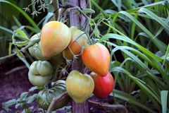 Different size tomatoes growing in the garden Royalty Free Stock Images
