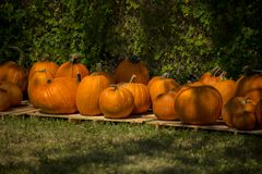 Pumpkins lined up Stock Images