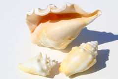Different size sea shells Royalty Free Stock Images