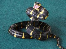 Different snakes Middle plan on a blue background in the process drisserovki royalty free stock photography