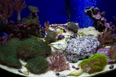 Different species of coral in tank Stock Photo