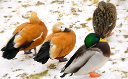Ducks. Different species of ducks  sits on the snow stock images