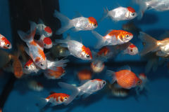 Different species of goldfish Stock Photography