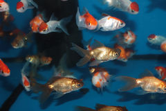 Different species of goldfish Stock Images