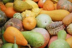 Different species of pumpkins Stock Image