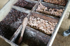 Different stages of cocoa seed in box in preparation to make chocolate Stock Photography