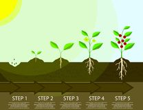 Different steps of growing plants. Planting tree process infographic. Flat Illustration. Different steps of growing plants. Planting tree process infographic Royalty Free Stock Photo
