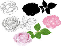 Different styles of rose isolated on white Royalty Free Stock Image