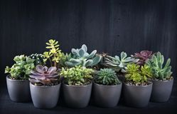 Different succulents. Above the black wooden backgriund Stock Image