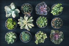 Different succulents. Above the black wooden background royalty free stock images