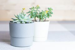 Succulent flowers in pots, home interior, minimal style. Different succulents in simple white and grey plastic pots, minimal style, copyspace, home flowers stock photos