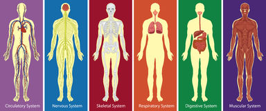 Different systems of human body diagram. Illustration Stock Images