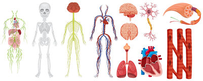 Different systems in human body Stock Images