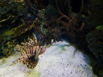 Lion fish in coral reef royalty free stock photography