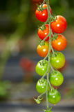 Different tomatoes Royalty Free Stock Photo
