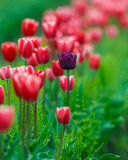 Different Tulip Royalty Free Stock Photo