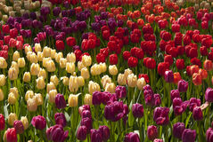 Different Tulips. Different colorful field of Tulips stock photo
