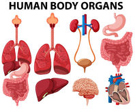Different type of human body organs Royalty Free Stock Photo
