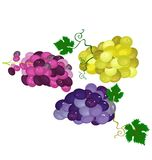 Juicy,delicious and fresh grapes harvested. Different type os delicious grapes, juicy, harvested in the fields, ready to eat or prepare wine Stock Image