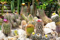 Different types of the blossoming cactuses Stock Images