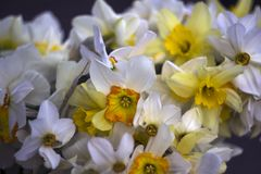 Different types of daffodils in the bouquet, background. Many-flowered. White and yellow daffodils Royalty Free Stock Photos
