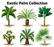 Different types of exotic palm trees. Illustration Stock Photos