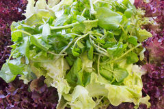 Different types of green and red lettuce salad Royalty Free Stock Image